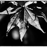 20180923_Maple Leaf thumbnail