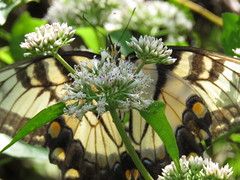 Hiding in plain sight (Usagi93190) Tags: tiger swallowtail butterfly nature outdoors insect macro lettuce lake tampa florida proxi