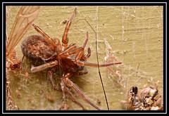 """Arachtober the 31st..."" #2 (NikonShutterBug1) Tags: nikond7100 tokina100mm entomology nature wildlife bokeh spe smartphotoeditor closeup macro spider insects arachnology araneology web arachtober"