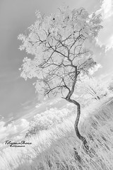 Lonely tree (tetyanaohare) Tags: nikonflickraward nikon newjersey harmony tranquil peaceful urban travel leisure outdoors landscape nature park mountain forest monochrome blackandwhite white lowkey dreamy infrared tree