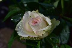 DSC_1736 (griecocathy) Tags: macro fleur rose feuille gouttelette eau rosée lumineux vert blanc