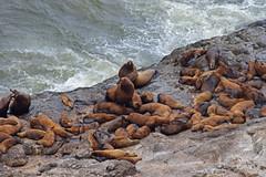 DSC_2567 ~ Sea  Lion Caves (stephanie.ovdiyenko) Tags: sealioncaves oregon oregoncoast pacificocean pacificcoast stellarsealions sealion mammal animal penniped colony display