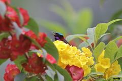 Crimson-backed Sunbird (Uncropped) (harshithjv) Tags: bird birding small sunbird crimson crimsonbacked crimsonbackedsunbird leptocoma minima passeriformes nectariniidae aves avian canon 80d tamron bigron g2