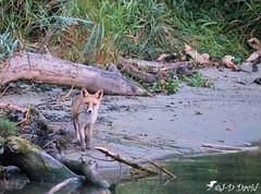 Je t'ai vu Jeanda 😉 (Jean-Daniel David) Tags: nature réservenaturelle mammifère eau rivière menthue lac lacdeneuchâtel arbre roseau vert verdure tronc forêt sable reflet yvonand suisse suisseromande vaud renard carnivore carnassier