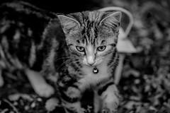 Ellie (chryssiesgreece) Tags: chryssiesgreececom ellie pet kitten cat