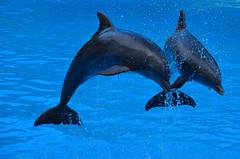 Right or wrong? (Basse911) Tags: dolphins captivity loroparque tenerife teneriffa canaryislands islascanarias