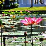 ..presidential lotus.. thumbnail