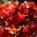 crimson autumn
