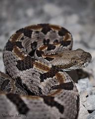 Timber Rattlesnake. Crotalus Horridus (Snakes on the Plains Photography) Tags: pitviper viper pit county stephens oklahoma mackey nathan venomous horridus crotalus snake rattlesnake timber