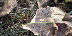 Wespe-Garten (Bilder-Kdittmann) Tags: wespe garten schwarzgelb