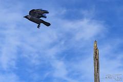 Taking off (PvRFotografie) Tags: nederland holland nature natuur bird birds animals dieren dier vogel vogels jackdaw kauw flying vliegen blauw blue sonyilca99m2 85mm 85mm14 planar8514za 85 za zeiss carlzeiss planart1485