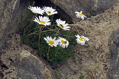 Leucanthemopsis alpina (aniko e) Tags: asteraceae leucanthemopsis leucanthemopsisalpina daisy alpinemoondaisy alpine flower white alpenmargerite margerite havasimargitvirág margitvirág switzerland screes grassland mountains fiesch eggishorn