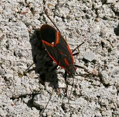Today's bug crawl critters (REGOR NOTPUL) Tags: spiders jumping orbweaver honey bee bumble box elderbug zebra glenburnie ontario