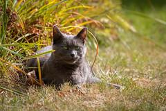 Another portrait of my cat Siva in our garden (Jana`s pics) Tags: cat cats katze katzen animals tiere furfriend fellnase garten garden outdoor drausen relaxig chilling haustiere pets greeneyes greycat