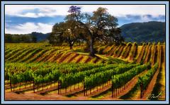 Vines & Oak (A Work of Mark) Tags: oaktree oak vineyard vines color landscape sonomacounty brcohen photoshop layers topazclarity topazsimplify