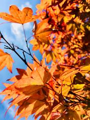 against a blue (what's that?) sky (karma (Karen)) Tags: parkschool pikesville maryland trees fallcolors dof bokeh hbw topf25
