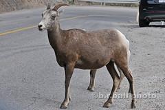 BRB_3267cesn c (b.r.ball) Tags: brball banff banffnationalpark alberta canada mountains bighornsheep