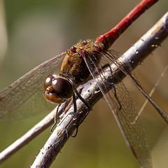 Sympetrum vulgatum (Ouwesok) Tags: canoneos80d sigmaapo35180mmaf sympetrumvulgatum steenrodeheidelibel libel insect woldlakebos