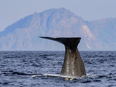 Sperme whale about to dive III (lasse christensen) Tags: dsc5050 norway norge nordland vesteålen andøya spermwhalephysetermacrocephaluscachalotspermhvalenspermhvalhunnmedkalvenspermhvalhunnmedkalvvitenskapeligenavnphysetermacrocephaluslinnaeus 1758physeter physeteridaenorskenavnspermhval