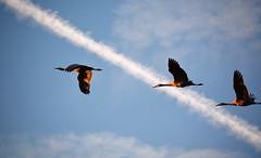 Sandhill Cranes, with Contrail (sonstroem) Tags: sandhillcrane crane bird birds birdwatching flickrfriday tech cosumnesriverpreserve nature natural sky antigonecanadensis