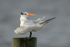 Royal Tern (Kevin James54) Tags: nikond850 royaltern sternamaxima tamron150600mm wilmington animals avian bird kevingianniniphotocom tern
