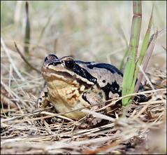 Касарги 3780 Rana (elgatoavc) Tags: 2018 челябинскаяобласть урал касарги животное лягушка