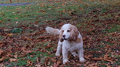 Jasper (Tammy Jackson) Tags: dog jasper cockerspaniel