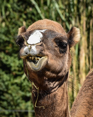 Dromedary Camel (tim.perdue) Tags: columbus zoo aquarium powell ohio nature animal nikon d5600 nikkor 70300mm camelus dromedarius wildlife africa african safari mammal eat chew straw mouth teeth