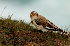 IMG_3070 (monika.carrie) Tags: monikacarrie wildlife scotland isleoflewis snowbunting