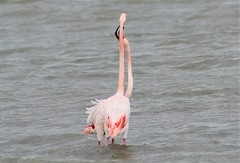 flamenco / european flamingo (jjulio2311) Tags: flamenco flamingo spain españa animal nature naturaleza sanpedrodelpinatar