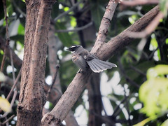 White-throated Fantail (Birdwatcher18) Tags: whitethroated fantail birding birdewatcher birder nature bird branch