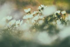 I thinks it's strange you never knew (Sarah Rausch) Tags: bokeh sony wildflowers depth fade fadeintoyou