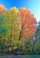 Illuminated Fall Foliage (Daniel Q Huang) Tags: tree foliage fall autumn grass colors leaves outdoor clouds sunshine