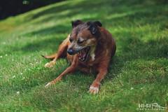 Yawn (Hi-Fi Fotos) Tags: rocco rocky rock rocket pet pup dog pooch k9 bff yawn portrait grass yard nikkor 50mm 14 nikon d7200 dx hififotos hallewell backyard relax