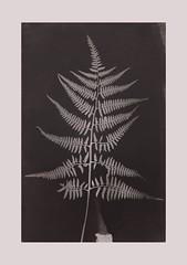 Cyanotypie (blasjaz) Tags: blasjaz cyanotypie cyanotypes farn farmwedel fotogramm botanik pflanzen plant