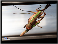 Praying Mantis Mating (FotoCheez) Tags: otocheez insects bee honey seattle light refraction macro green screen fun river happy working flowers bugs dog roll animal color snow fall summer winter spring autumn fire architecture art fx beach bird blue boat bridge building butterfly washington flower pretty beautiful christmas prism city gsd clouds coast fish red fog forest garden grass cold house ice island lake landscape leaf leaves hike camera music test seahawks cannabis love life trump prayingmantis mating helperbees