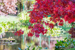 Colors of Fall - Maple (幻影留梦) Tags: fall color leaf yellow red green tree season autumn maple gibbs garden japanese georgia 2018 sony sal70400g2