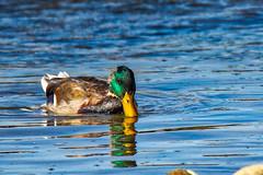 Mallard (jimmy.stewart40) Tags: wildlife duck mallard male bill yellow colorful watersurface river blue nature naturephotograph outdoors