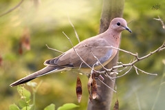 Laughing Dove (Spilopelia Senegalensis)  So luck was surely on my side today that i was able to get upclose with this beautiful bird, considered to be the symbol of peace, that too on the International Day Of Peace, 21st September 2018 (Kamran (Kami Kay Images)) Tags: birds internationaldayofpeace dove 21stseptember2018 internationalsymbolofpeace nowar loveandpeace wildlife birdsmatter wildbirds birdsphotography nature wildlifeconservation givepeaceachance