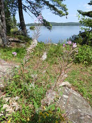 fireweed (Pete&NoeWoods) Tags: algonquin fireweed chamaenerion angustifolium chamaenerionangustifolium plant