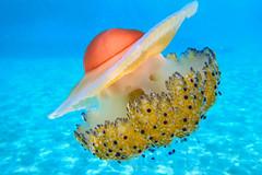Mediterranean Jelly (-NEIL-) Tags: mediterraneanjelly jellyfish