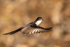 GRS20180930 00426-189-2 (glennsmith3) Tags: sydney newsouthwales australia au restlessflycatcher flycatcher bird birdsinflight wings brown birdinflight smallbirds