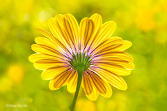 Back Light (Mimi Ditchie) Tags: flower backlight bokeh daisy backofflower macro backlit highkey getty gettyimages mimiditchie mimiditchiephotography