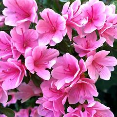 In The Pink_1505_PB_1 (Rikx) Tags: azalea pink potplant spring garden green cascade blooms pixelbender oilpaint filter adelaide southaustralia colour nature inthepink explore fff 3f flickersfantasticflowers
