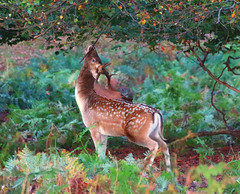 1S9A1274 (saundersfay) Tags: fallow sika deer knole autumn canon7dmkii antlers buck stag