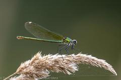 Caloptéryx éclatant (f) - Banded demoiselle (f) (dom67150) Tags: nature insecte insect libellule demoiselle damselfly calopteryxsplendens calopteryxéclatant bandeddemoiselle