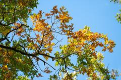 Autumn Oak (oandrews) Tags: autumn canon canon70d canonuk colours leaves nature naturereserve northamptonshire oak outdoors shortandsouthwickwoods shortwoodandsouthwickwood sky sun sunlight trees wildlifetrusts wildlifebcn wood woodland woods peterborough england unitedkingdom gb