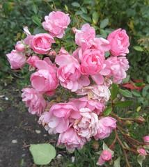"** Petites roses d'octobre** (Impatience_1(retour progressif)) Tags: rose fleur flower octobre october automne fall autumn m impatience naturallywonderful supershot coth coth5 abigfave fantasticnature alittlebeauty sunrays5 ""doublefantasy"""
