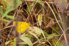 7K8A7591 (rpealit) Tags: scenery wildlife nature weldon brook management area orange sulphur butterfly
