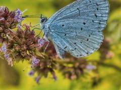 blue butterfly 2 (Mallybee) Tags: manualfocus f18 55mm fujinon oldlens dcg9 g9 panasonic lumix blue butterfly macro mallybee garden